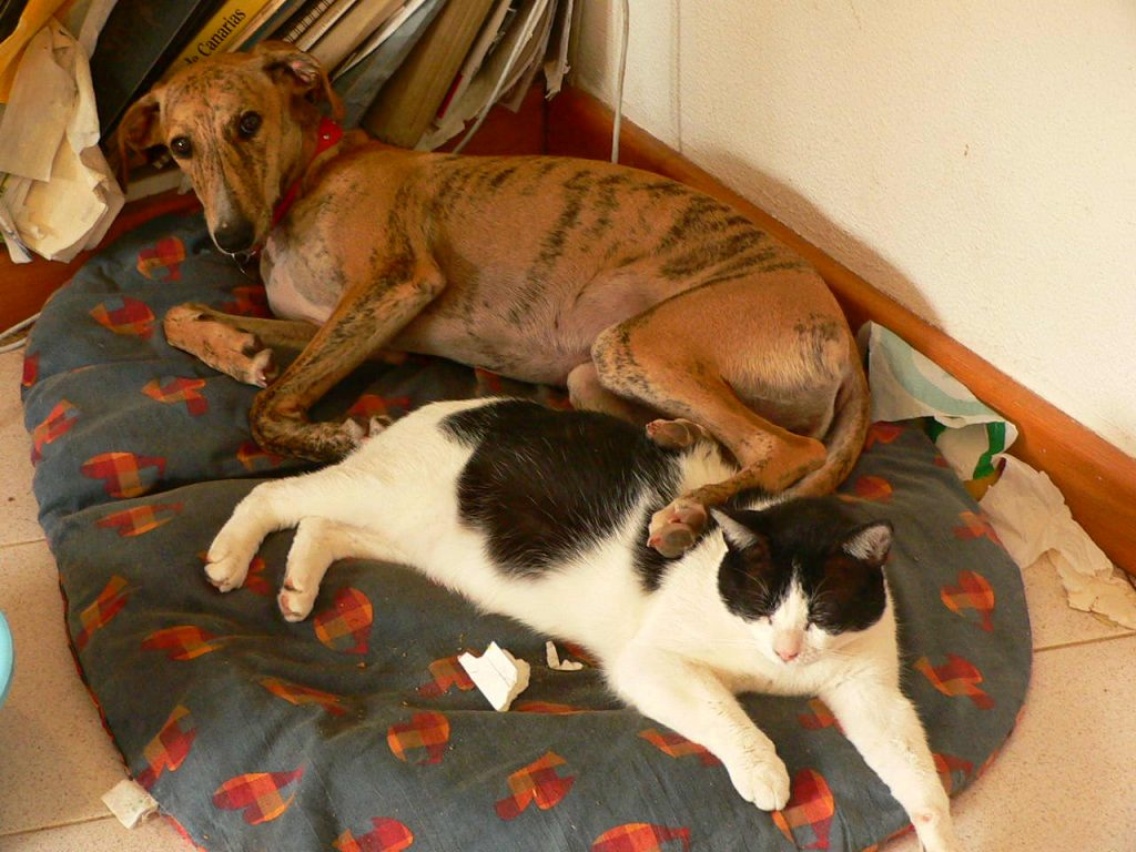 Greyhounds are best dog for cat lovers.